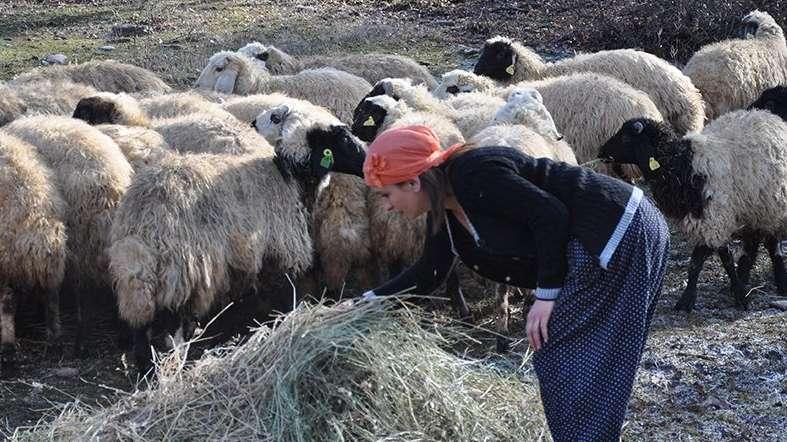 Uzmanlar uyardı: 300 koyun için başvurmadan önce bir kez daha düşünün