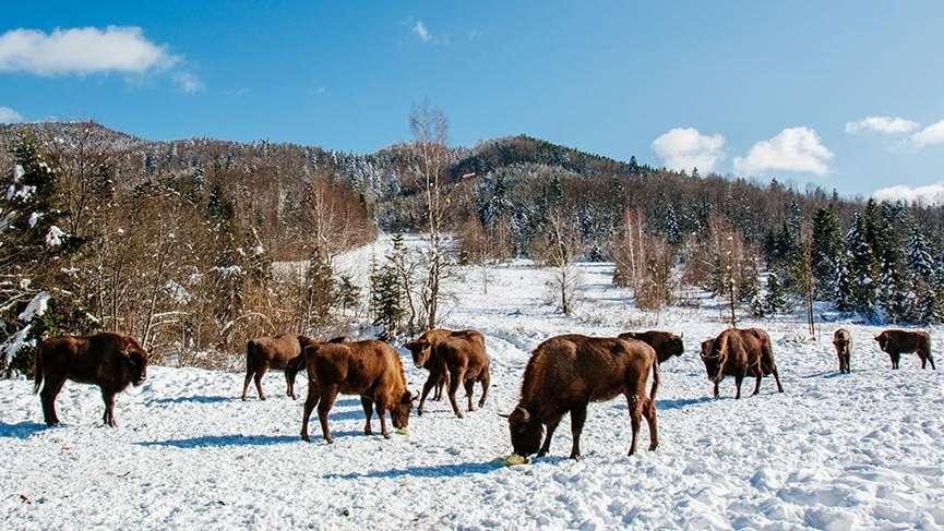 Avrupa bizonlarının nesli tehlike altında