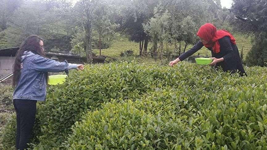 Türk beyaz çayından kanser ilacı üretimi için Japonya'da çalışma başlatıldı