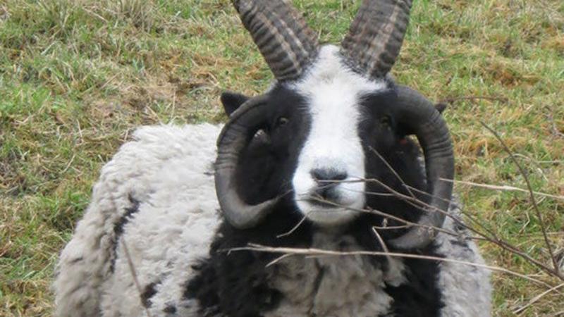 Koyun ve keçilere tecavüzden tutuklandı