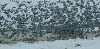 Kuşlar yem depolarına akın etti
