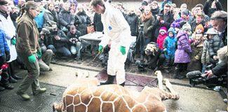 Zürafayı çocukların önünde kestiler!