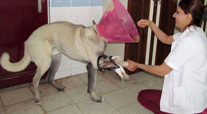 Köpeğe estetik operasyon yapıldı