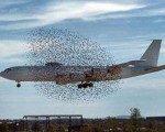 Uçakların belalısı kuşlar