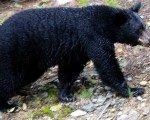 Dünyanın en yaşlı boz ayısı Rusya'da öldü