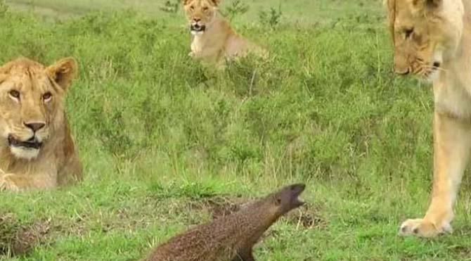 Kendi küçük aslanlara kafa tutacak kadar cesur