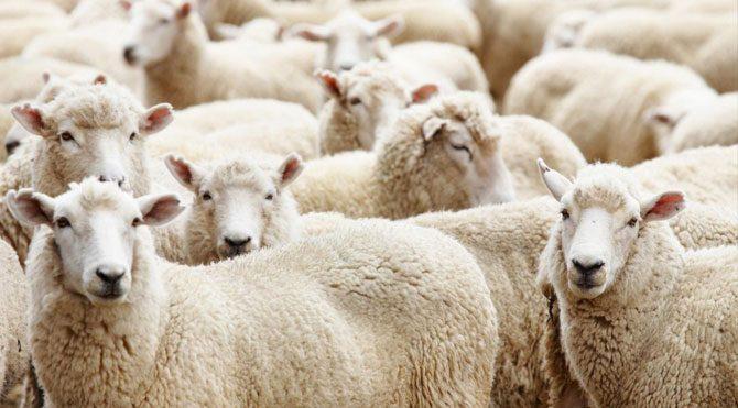 Koyunlar hastalıktan telef oldu
