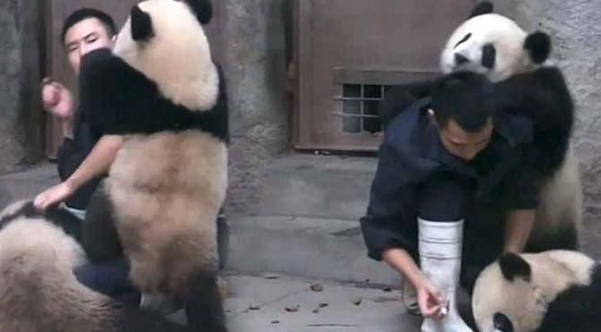 Yavru pandalar ilaç içmemek için direndi
