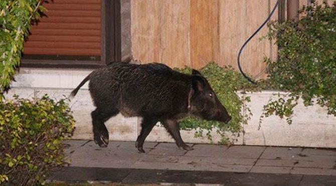 Bebek'te yaban domuzu paniği
