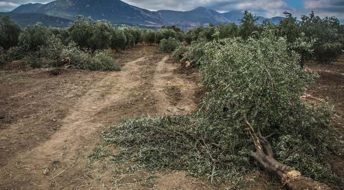 Kesilen ağaçların zeytinlerini toplayacaklar