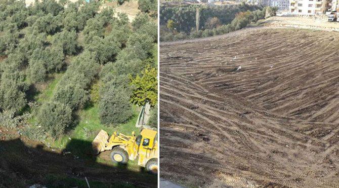 Bir zeytin ağacı katliamı da Bursa'da!