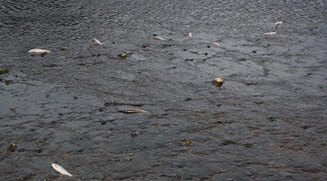 Bakırçay'da toplu balık ölümleri