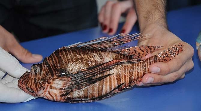 Akdeniz'de zehirli balık tehlikesi!