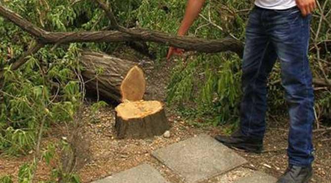 Bir gecede 600 ağacı kestiler