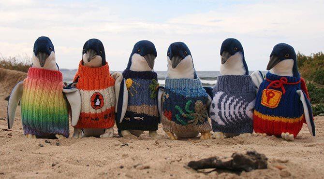Penguenlere kazak örüyor