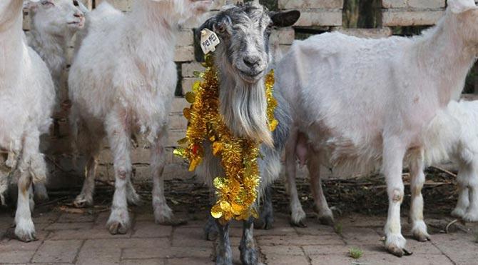 Klonlanmış keçi 15 yaşında