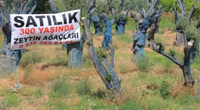 300 yıllık ağaçlar satılıyor!