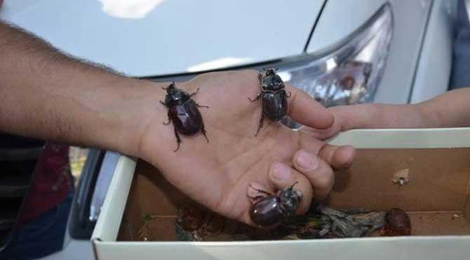 Bu böceği toplayanlar yandı!