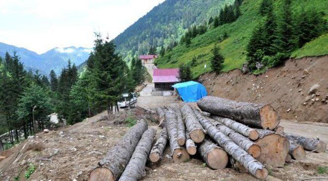 İşte Vali'nin 'kesilmedi' dediği ağaçlar