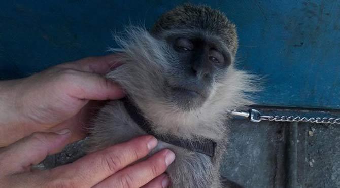 Ofiste maymun saldırısına uğradı