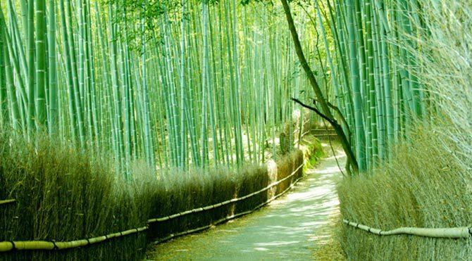 Japonya bambudan elektrik üretecek
