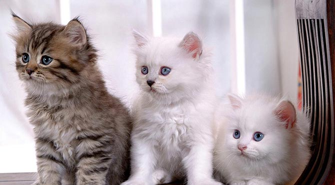 Avustralya 5 yıl içinde 2 milyon kediyi 'katledecek'