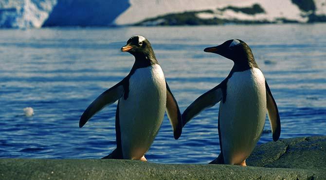 Eşcinsel penguenler, heteroseksüel çiftin yumurtalarını çaldı