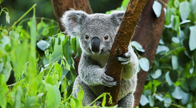 Koalaların parmak izleri insanlarınkine benziyor