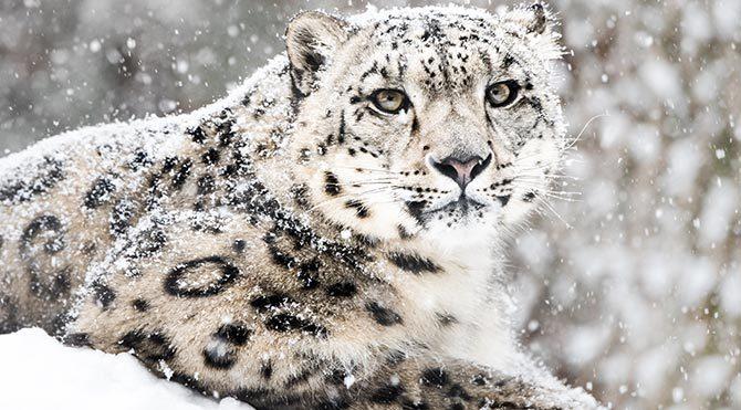 Kar leoparının nesli tükenme tehlikesi altında