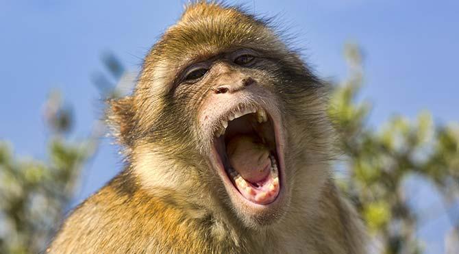 Testisi küçük olan maymunlar daha çok ses çıkarıyor