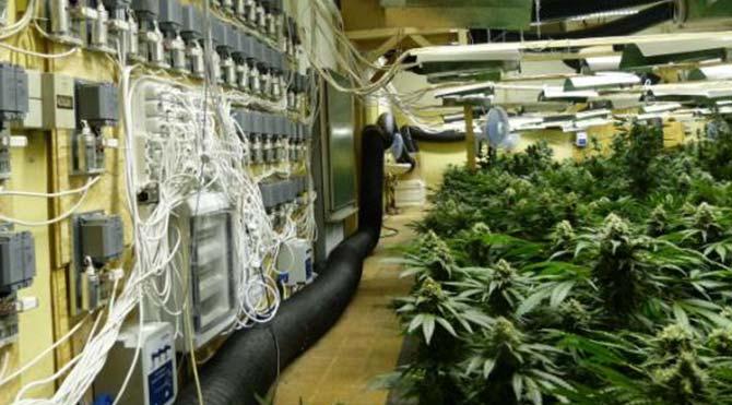 Almanya'nın göbeğine marihuana tarlası kurdular