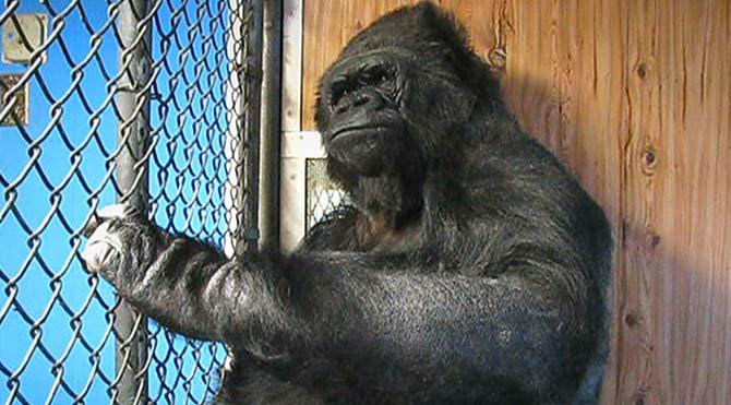 """Goril Koko'dan iklim değişikliği çağrısı: """"İnsanlar Aptal, Dünyayı Kurtarın"""""""