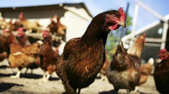 Tavuklar ilaç yumurtlayacak!