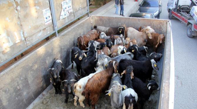 Ak Parti için adadığı koyunlar Türkmenlere gönderildi (2)