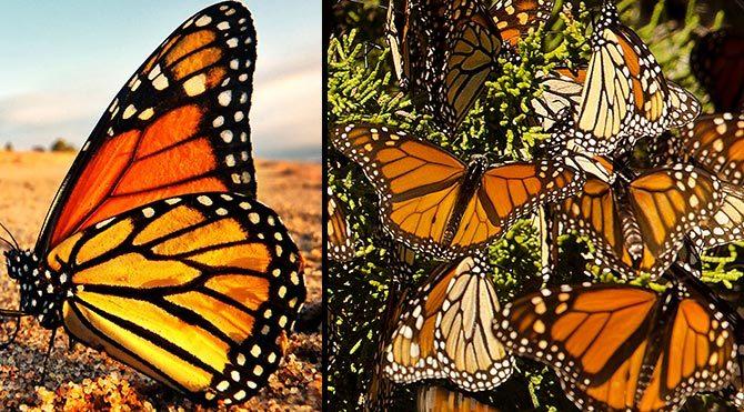 Kelebeklere özel 'otoban'