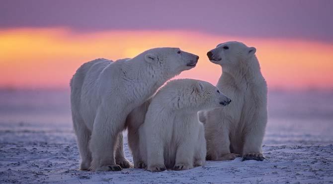 İlk kez tek yumurta ikizi kutup ayısı bulundu