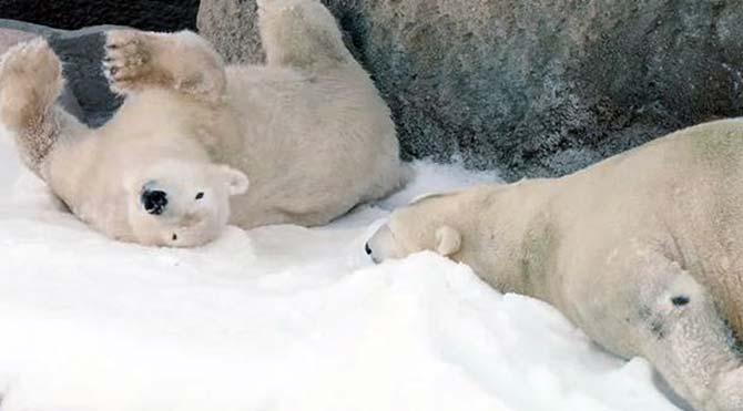 Doğal ortamlarından uzak kalan kutup ayılarının kar sevinci