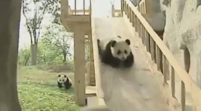 Kaydıraktan kayan pandaların mutluluğu