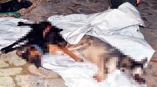 Bodrum'da 20 köpeği bilerek öldürdüler!