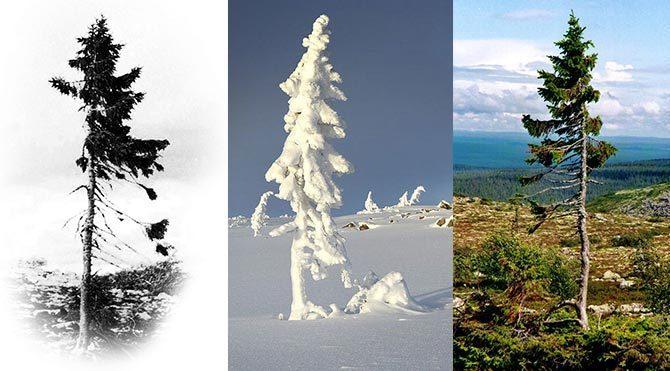 Bu ağaç 9500 yaşında