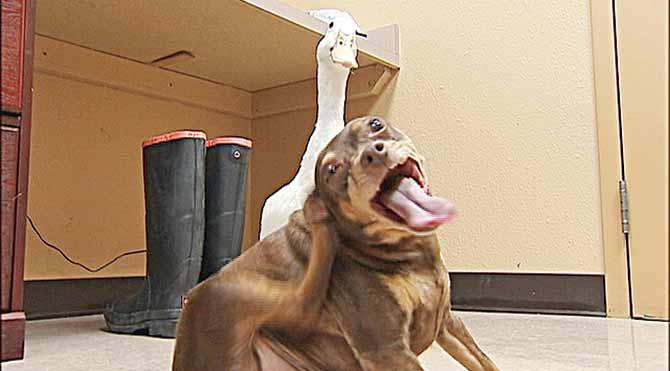 Ördekle köpeğin dostluğu