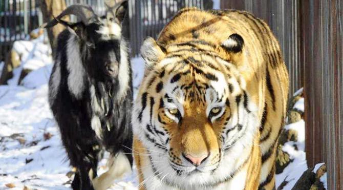 Rusya'daki bir hayvanat bahçesinde, yem olarak gönderilen keçiyle dostluk kuran kaplan tüm dünyanın ilgisini çekti.