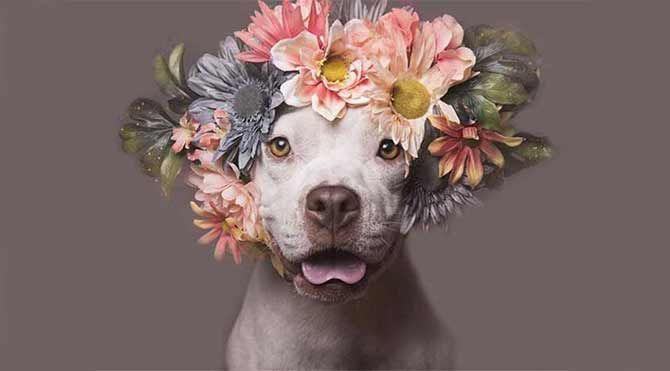 Pit Bull çiçek gücü