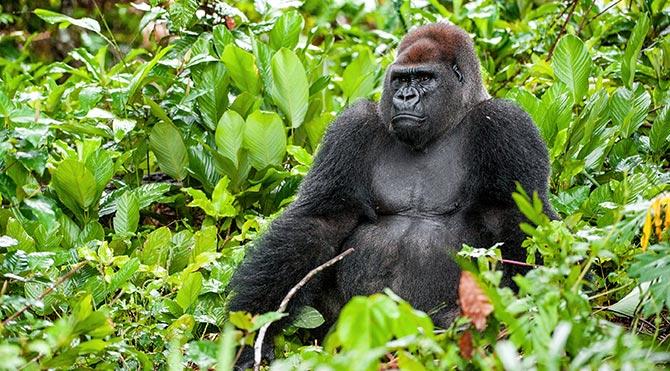 İnsan-goril ayrımı 10 milyon yıl önceye dayanıyor