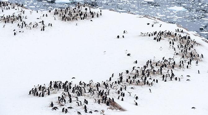 Büyük bir buz dağı koptu 150 bin penguen öldü