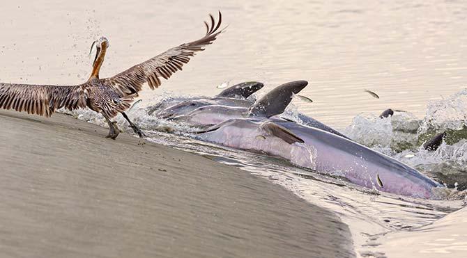 Yunusların ilginç beslenme yöntemi