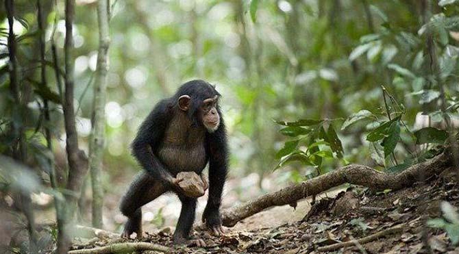 Evrim karşıtlarını sarsacak gözlem: Şempanzelerde tanrı inancına rastlandı!