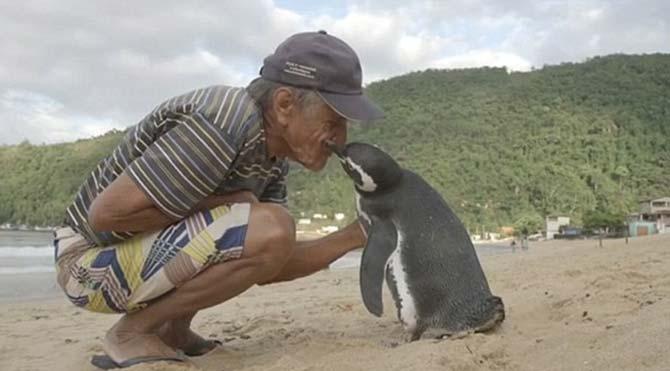 'Vefalı penguen' kurtarıcısını görmek için her yıl 8 bin kilometre yüzüyor