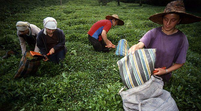 Çay topraklarının yüzde 85'i tehdit altında