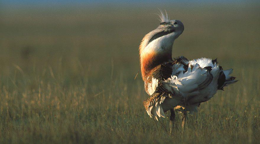 Tehlike altındaki bozkır kuşlarını koruyacaklar